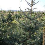 Weihnachtsbaum Kostenvergleich, Bild pixabay.com