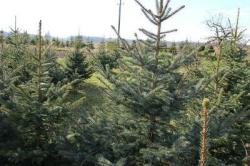 Wie viel kostet ein guter Weihnachtsbaum?