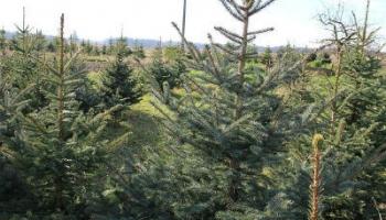 Wie Viel Kostet Ein Weihnachtsbaum