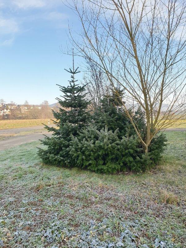 Echter Weihnachtsbaum Nordmanntanne auf einem Feld.